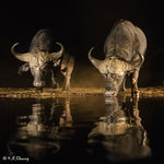 Two Buffaloes Drinking 02
