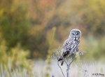 Great Grey Owl 05