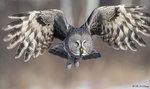 Great Grey Owl A21