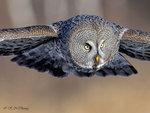 Great Grey Owl A38