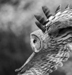 Great Grey Owl in Flight 06 BW