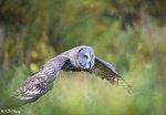 Great Grey Owl in Flight 08