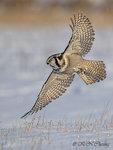 Hawk Owl A18