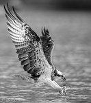 Osprey Fish Catching 01 BW