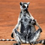152 Ring-tailed Lemur