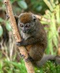 020 Grey Bamboo Lemur