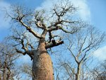 81 Ifaty spiny forest - Baobab tree & Didiereaceae