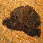 9. Moth, found inside the kitchen, 17/6/2005.