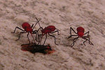 """10. It's like ants with red body black legs and a """"drinking tube"""". I saw them a few times when I didn't bring my camera. This photo was taken at Ma On Shan, 17/5/2005."""