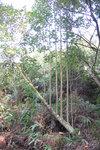 Here is a tree look like a harp .
