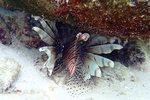 and also had a chance to see the first wild lion fish in my life!