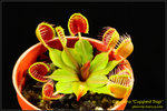 DSC_4330_nEO_IMG Dionaea Cupped Trap