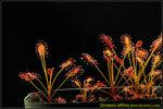 DSC_3676_nEO_IMG Drosera affinis