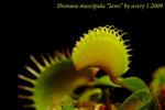 Dionaea muscipula Jaws 2