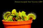 Dionaea muscipula Jaws 3