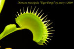 Dionaea muscipula Tiger Fangs 2