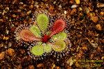 Drosera browniana