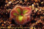 Drosera erythrorhiza ssp. squamosa 2