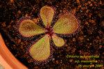 Drosera macrophylla ssp monantha 1