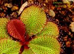 Drosera rosulata 1