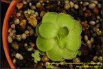 DSC_9406_nEO_IMG Pinguicula jaumavensis x cyclosecta