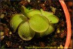 DSC_9911_nEO_IMG Pinguicula laueana x emarginata