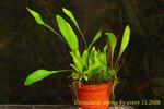 Utricularia alpina 4