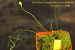 Utricularia humboldtii Cerro Nebrina