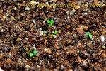 Utricularia menziesii