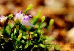 Utricularia minutissima small form 1