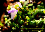 Utricularia minutissima small form 2