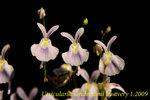 Utricularia sandersonii 1