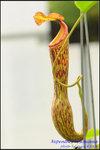 DSC_9367_nEO_IMG Nepenthes boschiana