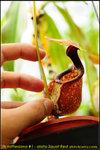 nEO_IMG_DSC_8912 Nepenthes rafflesiana #1 Alata Squat Red