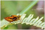 紅翅長標弄蝶 003