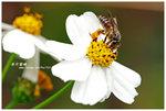 西方蜜蜂 001