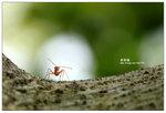 黃猄蟻 002