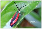 紅帶網斑蛾 001