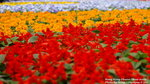 FlowerShow03A