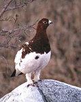 AlaskanWillow Ptarmigan 阿拉斯加松雞