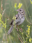 Bairds Sparrow 貝爾氏草鵐