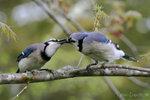 Blue Jays 冠藍鴉