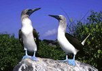 Blue-footed Boobies 鰹鳥