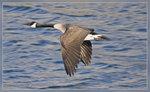 Canada Goose 北美野鵝