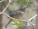 Colima Warbler 黄腰虫森鶯
