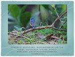紅脇藍尾鴝雄鳥