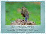 紅脇藍尾鴝雌鳥