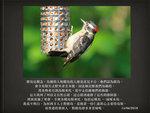 20180615 絨啄木鳥 jpg.001
