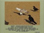 0615 黑脊鷗