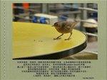 0616 歐洲椋鳥 Juvenile